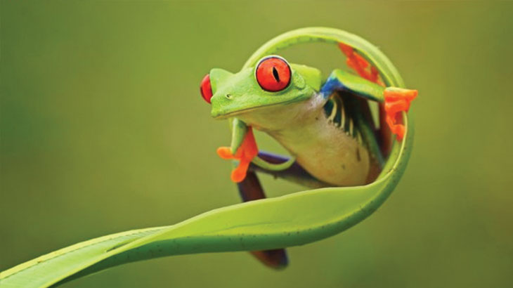 What other uses does a frog use its eyes for?